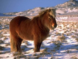 Fluffy Icelandic horse in winter Copyright © 2002 Andreas Tille.